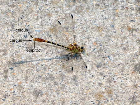 An Eastern Ringtail dragonfly (Erpetogomphus designatus) spotted along the Potomac River at Riverbend Park, Fairfax County, Virginia USA. This individual is a male, perching in the obelisk position.