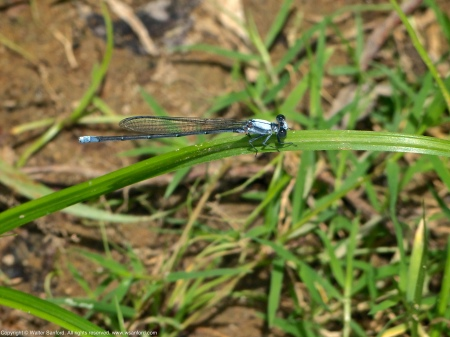 A Powdered Dancer damselfly (Argia moesta) spotted along the Potomac River at Riverbend Park, Fairfax County, Virginia USA. This individual is a male.