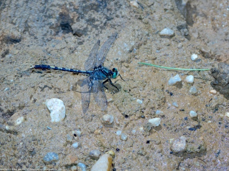 A Unicorn Clubtail dragonfly (Arigomphus villosipes) spotted at Mason Neck West Park, Fairfax County, Virginia USA. This individual is a male.