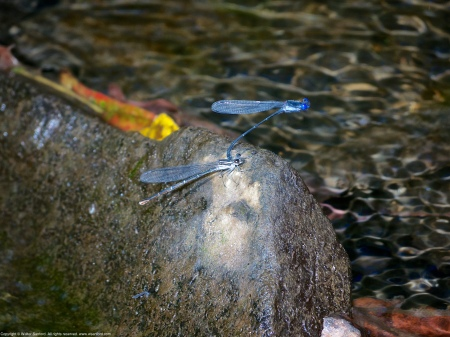 "A mating pair of Dusky Dancer damselflies (Argia translata) spotted along Pope's Head Creek at Chapel Road Park, Fairfax County, Virginia USA. This pair is ""in tandem."""