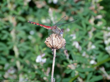 A female Blue-faced Meadowhawk dragonfly (Sympetrum ambiguum) spotted at Jackson Miles Abbott Wetland Refuge, Fairfax County, Virginia USA. This individual is an andromorph.