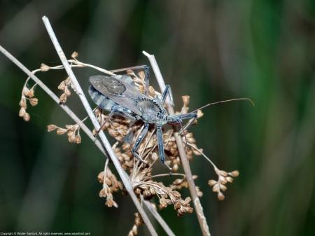 A Wheel Bug (Arilus cristatus) spotted at Huntley Meadows Park, Fairfax County, Virginia USA.