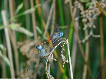 "A mating pair of Blue-faced Meadowhawk dragonflies (Sympetrum ambiguum) spotted at Huntley Meadows Park, Fairfax County, Virginia USA. This pair is ""in wheel."" The female is an andromorph."