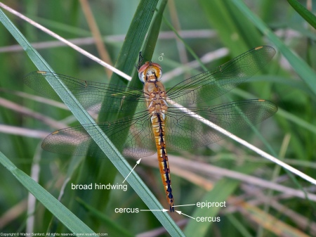 A Wandering Glider dragonfly (Pantala flavescens) spotted at Mason Neck West Park, Fairfax County, Virginia USA. This individual is a male.