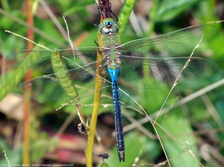 A Common Green Darner dragonfly (Anax junius) spotted at Huntley Meadows Park, Fairfax County, Virginia USA. This individual is a male.