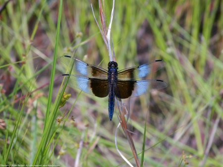A Widow Skimmer dragonfly (Libellula luctuosa) spotted at Occoquan Bay National Wildlife Refuge, Prince William County, Virginia USA. This individual is a male.