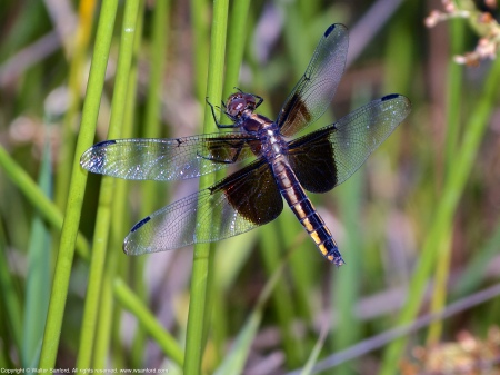 A Widow Skimmer dragonfly (Libellula luctuosa) spotted at Occoquan Bay National Wildlife Refuge, Prince William County, Virginia USA. This individual is a female.
