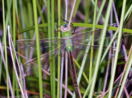 A Common Green Darner dragonfly (Anax junius) spotted at Huntley Meadows Park, Fairfax County, Virginia USA. This individual is an immature- to young female.