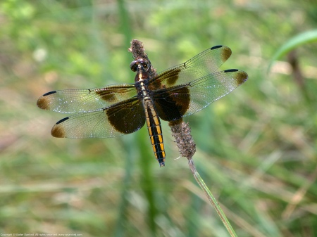 A Widow Skimmer dragonfly (Libellula luctuosa) spotted at Mason Neck West Park, Fairfax County, Virginia USA. This individual is a female.