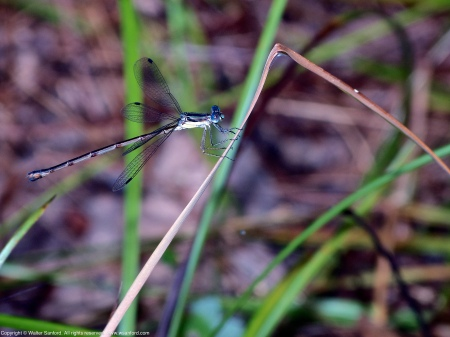 A Slender Spreadwing damselfly (Lestes rectangularis) spotted at Huntley Meadows Park, Fairfax County, Virginia USA. This individual is a female.