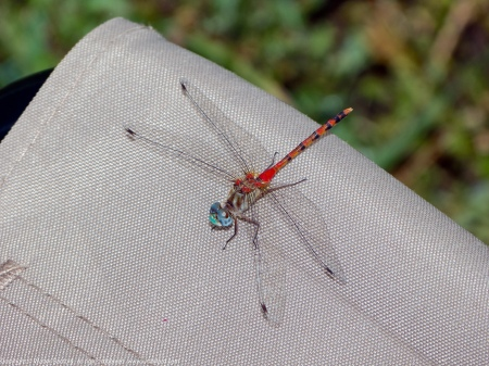 A Blue-faced Meadowhawk dragonfly (Sympetrum ambiguum) spotted at Huntley Meadows Park, Fairfax County, Virginia USA. This individual is a male, perching on a Coleman camp stool.