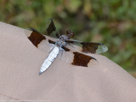 A Common Whitetail dragonfly (Plathemis lydia) spotted at Huntley Meadows Park, Fairfax County, Virginia USA. This individual is a male, perching on a Coleman camp stool.