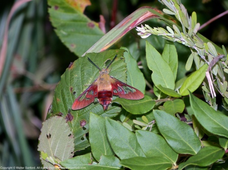 A Hummingbird Clearwing moth (Hemaris thysbe) spotted at Occoquan Bay National Wildlife Refuge, Prince William County, Virginia USA.