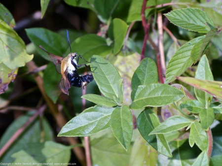A Snowberry Clearwing moth (Hemaris diffinis) spotted at Mulligan Pond, Jackson Miles Abbott Wetland Refuge, Fairfax County, Virginia USA.