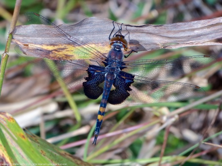 A Black Saddlebags dragonfly (Tramea lacerata) spotted at Huntley Meadows Park, Fairfax County, Virginia USA. [*]