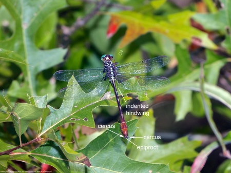 A Russet-tipped Clubtail dragonfly (Stylurus plagiatus) spotted at Mulligan Pond, Jackson Miles Abbott Wetland Refuge, Fairfax County, Virginia USA. This individual is a male.