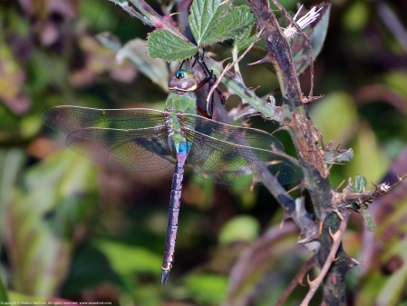 A Common Green Darner dragonfly (Anax junius) spotted at Mulligan Pond, Jackson Miles Abbott Wetland Refuge, Fairfax County, Virginia USA. This individual is a male, eating a female Autumn Meadowhawk dragonfly (Sympetrum vicinum).