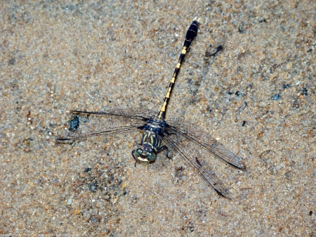A Common Sanddragon dragonfly (Progomphus obscurus) spotted along Dogue Creek at Wickford Park, Fairfax County, Virginia USA. This individual is a male.