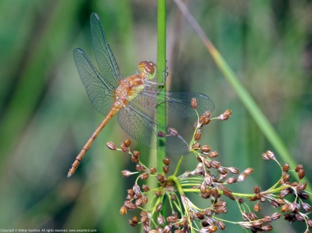An Autumn Meadowhawk dragonfly (Sympetrum vicinum) spotted at Huntley Meadows Park, Fairfax County, Virginia USA. This individual is a teneral male.