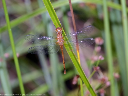 An Autumn Meadowhawk dragonfly (Sympetrum vicinum) spotted at Huntley Meadows Park, Fairfax County, Virginia USA. This individual is a teneral female.