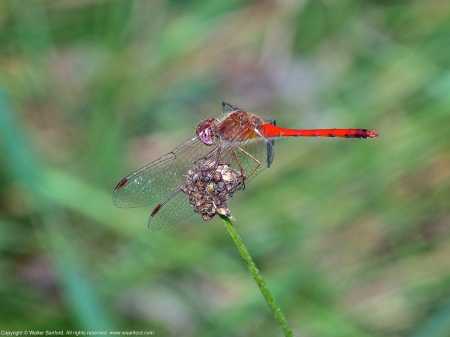 An Autumn Meadowhawk dragonfly (Sympetrum vicinum) spotted at Mason Neck West Park, Fairfax County, Virginia USA. This individual is a male.