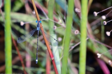 A Southern Spreadwing damselfly (Lestes australis) spotted at Mason Neck West Park, Fairfax County, Virginia USA. This individual is a male.