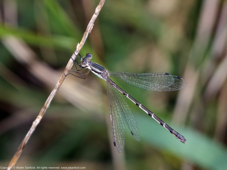 A Southern Spreadwing damselfly (Lestes australis) spotted at Mason Neck West Park, Fairfax County, Virginia USA. This individual is a female.