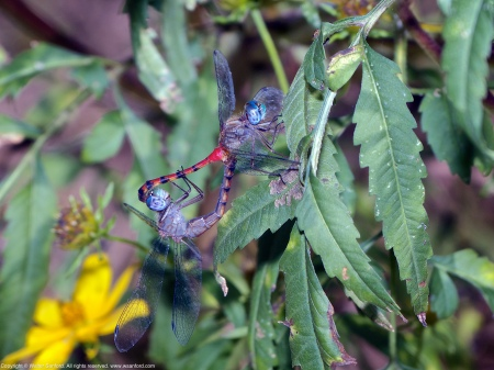 "A mating pair of Blue-faced Meadowhawk dragonflies (Sympetrum ambiguum) spotted at Old Colchester Park and Preserve, Fairfax County, Virginia USA. This pair is ""in wheel."" The female is an andromorph."