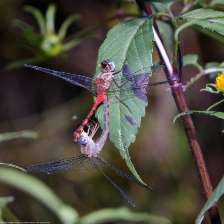 "A mating pair of Blue-faced Meadowhawk dragonflies (Sympetrum ambiguum) spotted at Old Colchester Park and Preserve, Fairfax County, Virginia USA. This pair is ""in wheel."" The female is a heteromorph."