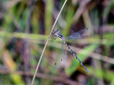A Southern Spreadwing damselfly (Lestes australis) spotted at Huntley Meadows Park, Fairfax County, Virginia USA. This individual is a female.