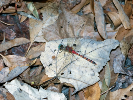 A Blue-faced Meadowhawk dragonfly (Sympetrum ambiguum) spotted at Huntley Meadows Park, Fairfax County, Virginia USA. This individual is a male.