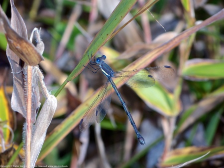 A Great Spreadwing damselfly (Archilestes grandis) spotted at Huntley Meadows Park, Fairfax County, Virginia USA. This individual is a female.