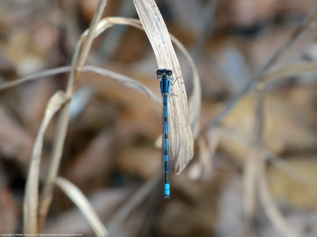 A Familiar Bluet damselfly (Enallagma civile) spotted at Huntley Meadows Park, Fairfax County, Virginia USA. This individual is a male.
