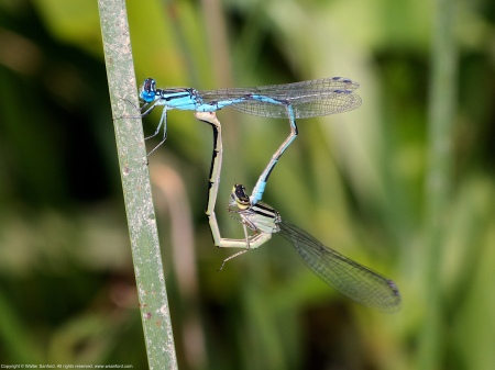 "A mating pair of Big Bluet damselflies (Enallagma durum) spotted at Dyke Marsh Wildlife Preserve, Fairfax County, Virginia USA. This pair is ""in heart."""