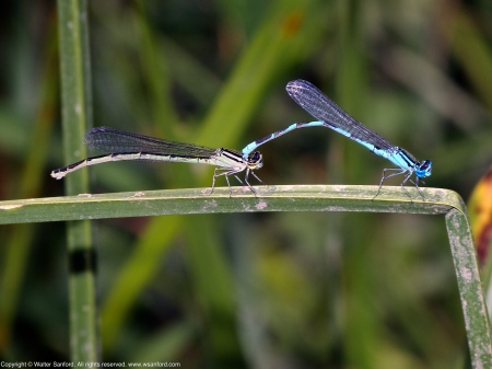 "A mating pair of Big Bluet damselflies (Enallagma durum) spotted at Dyke Marsh Wildlife Preserve, Fairfax County, Virginia USA. This pair is ""in tandem."""