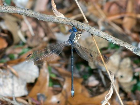 A Great Spreadwing damselfly (Archilestes grandis) spotted at Huntley Meadows Park, Fairfax County, Virginia USA. This individual is a male, eating an unknown insect.