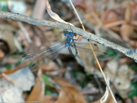 A Great Spreadwing damselfly (Archilestes grandis) spotted at Huntley Meadows Park, Fairfax County, Virginia USA. This individual is a male, shown grooming his terminal appendages.