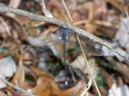 A Great Spreadwing damselfly (Archilestes grandis) spotted at Huntley Meadows Park, Fairfax County, Virginia USA. This individual is a male.
