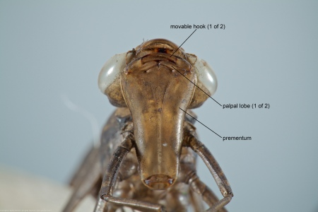 A dragonfly exuvia from the Family Aeshnidae (Darners), collected at Hidden Pond, Meadowood Recreation Area, Fairfax County, Virginia USA. This individual is Anax junius.