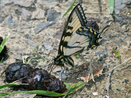 An Eastern Tiger Swallowtail butterfly (Papilio glaucus) spotted at Accotink Bay Wildlife Refuge, Fairfax County, Virginia USA. This individual is a male, feeding on scat.