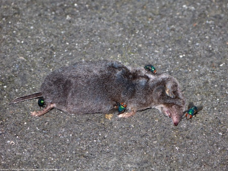 A short-tailed shrew carcass spotted at Huntley Meadows Park, Fairfax County, Virginia USA. This individual is probably a Kirtland's Short-tailed Shrew (Blarina brevicauda kirtlandi). The flies are probably Common Green Bottle Fly (Lucilia sericata).