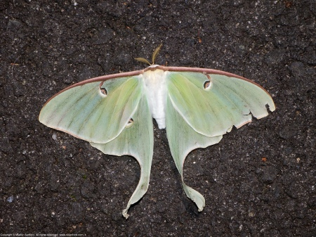 A Luna Moth (Actias luna) spotted along the Hike-Bike Trail at Huntley Meadows Park, Fairfax County, Virginia USA.