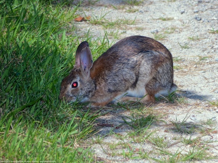 An Eastern Cottontail (Sylvilagus floridanus mallurus) spotted at Occoquan Bay National Wildlife Refuge, Prince William County, Virginia USA.