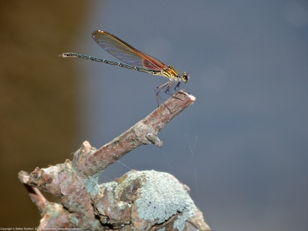 An American Rubyspot damselfly (Hetaerina americana) spotted along the Potomac River at Riverbend Park, Fairfax County, Virginia USA. This individual is a male.