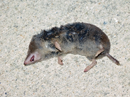 A short-tailed shrew carcass spotted at Accotink Bay Wildlife Refuge, Fairfax County, Virginia USA. This individual is probably a Kirtland's Short-tailed Shrew (Blarina brevicauda kirtlandi).