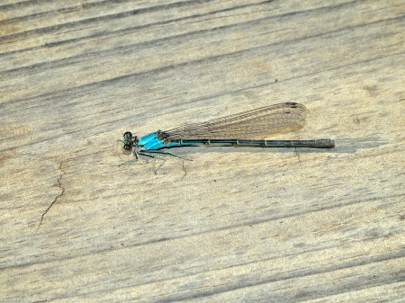 A Blue-fronted Dancer damselfly (Argia apicalis) spotted along Accotink Creek at Accotink Bay Wildlife Refuge, Fairfax County, Virginia USA. This individual is a female.