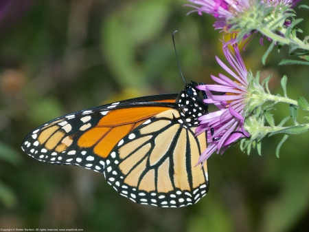 A Monarch butterfly (Danaus plexippus) spotted near Mulligan Pond at Jackson Miles Abbott Wetland Refuge, Fairfax County, Virginia USA.