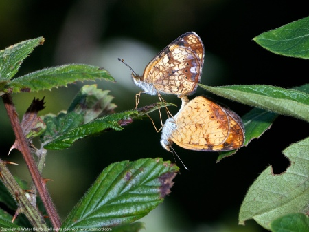 A mating pair of Pearl Crescent butterflies (Phyciodes tharos) spotted near Mulligan Pond at Jackson Miles Abbott Wetland Refuge, Fairfax County, Virginia USA.