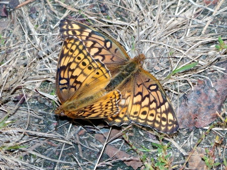 A mating pair of Variegated Fritillary butterflies (Euptoieta claudia) spotted near Mulligan Pond at Jackson Miles Abbott Wetland Refuge, Fairfax County, Virginia USA.