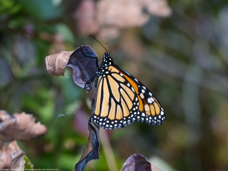 A Monarch butterfly (Danaus plexippus) spotted at Occoquan Bay National Wildlife Refuge, Fairfax County, Virginia USA.